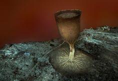 シロサカズキホコリの胞子嚢