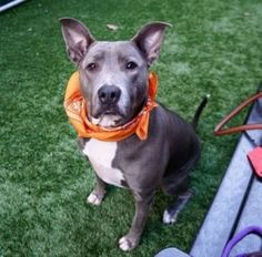 TO BE DESTROYED 12/05/17 A volunteer writes: Three year old Zinc is a gorgeous gal who looks out of place in her kennel.