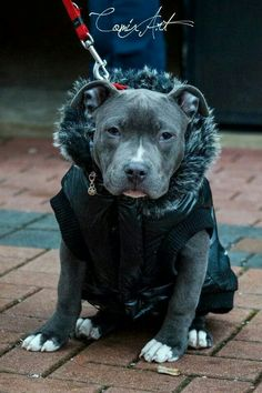 Beautiful Remember, short hair dogs need a jacket/coat in the fall and winter. They DON'T have an under coat and dogs cannot supernaturally endure all types of weather!