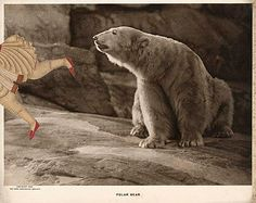 The Polar Bear chiefly feeds on seals, but can also effectively hunt larger mammals. by GRACIA + LOUISE, via Flickr