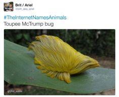 Toupee McTrump bug   animal names