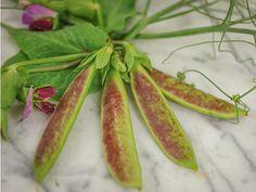 Incredible new blushed green and purple podded snap pea. Flowers are stunning in bicolor purple and white, but the amazing thing about the plants is their hyper-tendril habit—a new type in pea breeding. Spring Blush throws an occasional green-podded plant