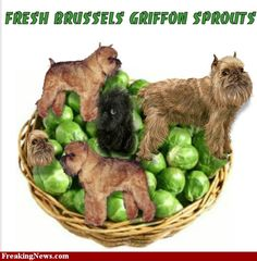 Brussels Griffon Sprouts