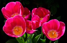 Pink Tulips by Lorraine Hudgins on 500px