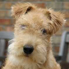 So you want a American Pit Bull Terrier? Wirehaired Fox Terrier, Airedale Terrier, Bull Terrier Dog, Terrier Mix, Pet Dogs, Dogs And Puppies, Dog Cat, Doggies, Wire Fox Terrier