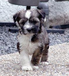 Tibetaanse Terrier Lamleh