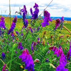 Brilliant purple flowers at the top of the South Downs in Sussex..