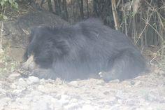Hunger Bear