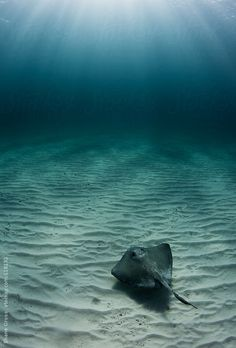 A southern stingray gliding effortlessly over the sand in the Bahamas.
