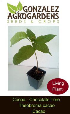 Cocoa Chocolate Tree 'Theobroma cacao' Seedling Plant