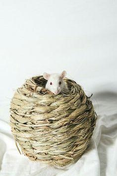 Lovely Albino Ratte im Heu Nest