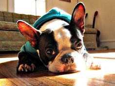 Frito the Boston Terrier!