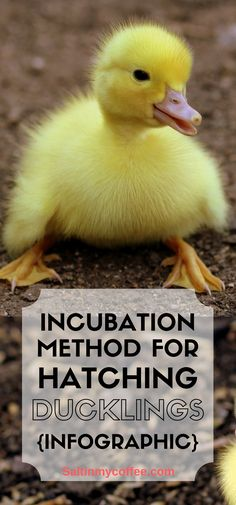 Here's the method I use for successfully hatching ducklings. This consistently gives me very high hatch rates, with vigorous, fluffy ducklings.