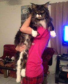 These 21 Images will Show You the Remarkable Size of Maine Coon Cats