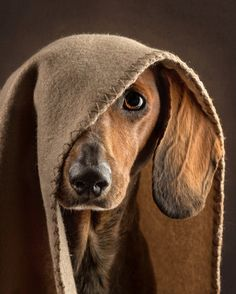 63 trendy dogs and puppies dachshund funny Dachshund Funny, Dachshund Puppies, Dachshund Love, Cute Puppies, Dogs And Puppies, Funny Pets, Dog Paws, Pet Dogs, Doggies