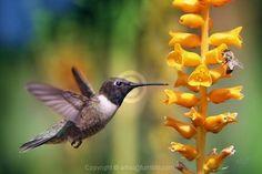 Hummingbird & bee
