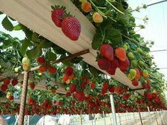 Gutter Strawberries. Fill an old rain gutter with soil, plant the berries, and harvest them as they overhang.