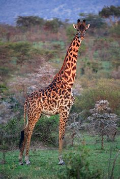 Giraffe - after listening to Bishop T D Jakes regarding instinct I want to only travel with Giraffes. I'm leaving turtles alone.