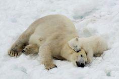 source: redwingjohnny:Polar Bear Mother and Cub by Antti Yrjönen