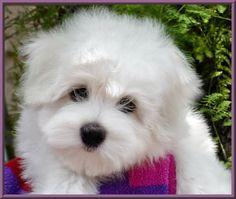 Schubert.  An adorable little guy.  #puppied