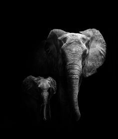 African Elephant mother with her calf .