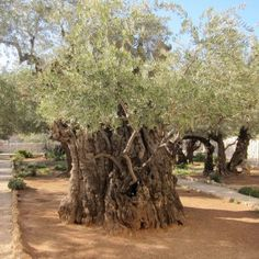 Olive tree in the Garden of Gethsemane, Jerusalem, Israel. Gethsemane is a garden at the foot of the Mount of Olives in Jerusalem most famous as the place where, according to the gospels, Jesus and his disciples are said to have prayed the night before Jesus' crucifixion. (V)