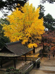 Golden ginkgo tree. Japan.