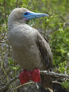 Red-footed Booby bird, Galapagos Islands, Ecuador