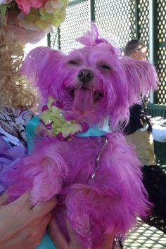 Pink Maltese puppy!