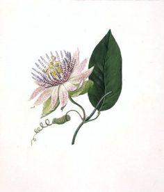 Botanical - Flower - Passion flower - Passiflora laurifolia