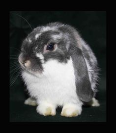 Blue Butterfly mini lop - don't you just want to him on an ice cream cone!!  So sweeeeeet.