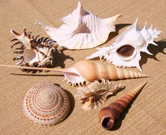 They amaze me! Shell Collection, Nature Beach, Beach Scenes, Sea Shells, Conch Shells, Displaying Collections, Beautiful Gifts, Ocean Life, Sea Creatures