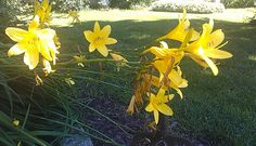 Lily Lily, Yellow, Garden, Plants, Garten, Lilies, Flora, Plant, Lawn And Garden