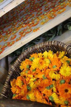 Fabriquer son macérât huileux - Ecole des Herbes, herboristerie pratique