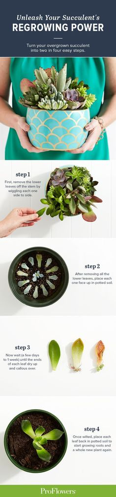 Have a succulent that's overgrowing its container? There's no need to kill or ditch the plant; instead use these steps to turn one succulent into two. Who knows, you might find succulents so easy and long-lasting you'll want to send one to a friend Propagating Succulents, Succulent Gardening, Cacti And Succulents, Container Gardening, Succulent Care, Growing Succulents, Succulent Terrarium, How To Replant Succulents, Succulent Cuttings