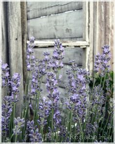 """... I do not know how to say, often in the middle of a modern mood a strange, delicate scent - like lavender from grandma's Wardrobe - that blows like a wistful smile at the words ... "" Rainer Maria Rilke"