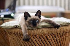 Katze, Thai Katze, Katzen, Haustier