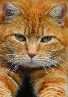 face photo of orange tabby cat - Yahoo Image Search Results