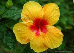 Hibiscus rosa-sinensis, known colloquially as the Chinese hibiscus, is an evergreen flowering shrub native to East Asia. It is widely grown as an ornamental plant throughout the tropics and subtropics.