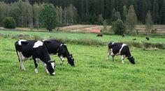 Experter bemöter sex vanliga påståenden om mjölk.