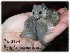 Babies for Sale | Brazilian Short Tail Opossums