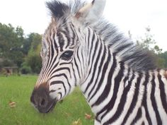 a relative of a baby horse Animals Are Beautiful People, Beautiful Horses, Beautiful Creatures, Rare Animals, Exotic Animals, Wild Animals, Baby Tigers, Baby Zebra, Baby Horses