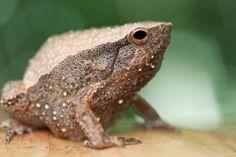 Kalophrynus sp. | Flickr - Photo Sharing!