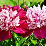 Peonies belong to the genus of plants Paeonia in the Paeoniaceae family of flowering shrubs. There are around 40 species of peonies with around cultivars Light Pink Flowers, Large Flowers, Colorful Flowers, White Flowers, Herbaceous Perennials, Hardy Perennials, Peony Flower, Blossom Flower, Compost