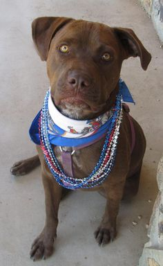 CHOCOLATE is an adoptable Labrador Retriever searching for a forever family near Toluca Lake, CA. Use Petfinder to find adoptable pets in your area.
