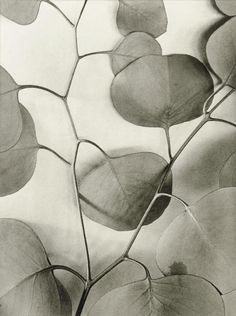 mondonoir: Alma Lavenson | Eucalyptus Leaves, 1933 Gelatin silver print, printed later by Jim Alinder