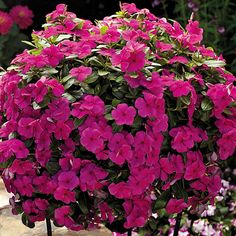Vinca/periwinkle Great choice for hanging baskets.