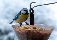 Vecka 50 - Småfåglar behöver mat nu. Foto: Michael Borg