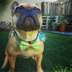 French Bulldogs love bow ties Barky Bows - barkybow.com