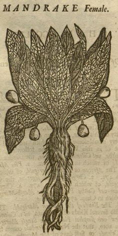 Mandragora, 1710, William Salmon, Botanologia, [MANDRAKE Female], Missouri Botanical Garden, Peter H. Raven Library, P. 677, Detail